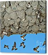 Cliff Swallows Returning To Nests Canvas Print