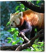 Climbing Red Panda Bear Canvas Print