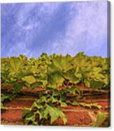 Climbing The Walls - Ivy - Vines - Brick Wall Canvas Print