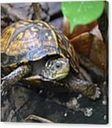 Climbing Turtle Canvas Print
