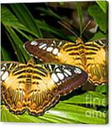 Clipper Butterflies Canvas Print