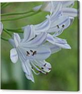 Close Up - African Lily Canvas Print