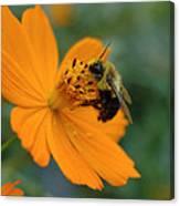 Close Up Bee Feeding On Orange Cosmos Canvas Print