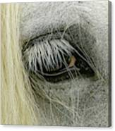 Close-up Details Of Gypsy Vanner Horse Canvas Print