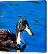 Close Up Duck Canvas Print