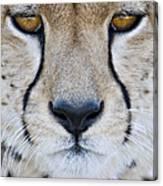 Close-up Of A Cheetah Acinonyx Jubatus Canvas Print