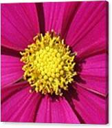 Close Up Of A Cosmos Flower Canvas Print