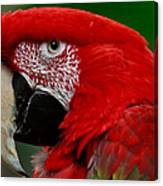 Close Up Of A Gorgeous  Green Winged Macaw Parrot. Canvas Print