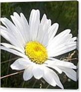 Close Up Of A Margarite Daisy Flower Canvas Print