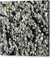 Close-up Of Acorn Barnacles Canvas Print