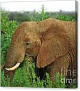 Close Up Of African Elephant Canvas Print
