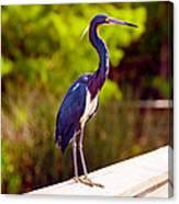 Close-up Of An Blue Egret, Boynton Canvas Print