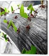 Close-Up Of Ants Carrying Leaves Canvas Print