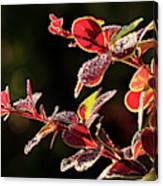 Close Up Of Berberis  Quebec, Canada Canvas Print