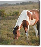 Close Up Of Brown And White New Forest Pony Horse At Sunrise In  Canvas Print