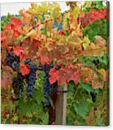 Close-up Of Cabernet Sauvignon Grapes Canvas Print