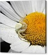 Close-up Of Crab Spider Canvas Print