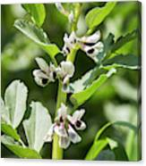 Close Up Of Fava Bean Blossoms Canvas Print