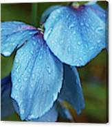 Close-up Of Himalayan Poppy Flowers Canvas Print