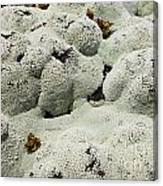 Close Up Of Lichens Commonly Called Rock Moss Canvas Print