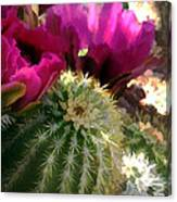 Close Up Of Pink Cactus Flowers Canvas Print
