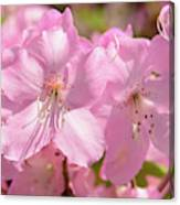 Close Up Of Pink Shell Azalea Flowers Canvas Print