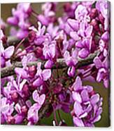 Close-up Of Redbud Tree Blossoms Canvas Print