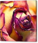 Close Up Of The Dry Rose Canvas Print