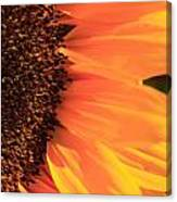 Close Up Of The Florets And Petals Of A Sunflower Canvas Print