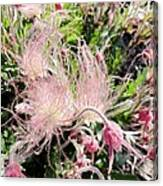 Close-up Of The Prairie Smoke Wildflower Canvas Print