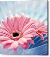 Close Up Of Two Pink Gerbera Daisies Canvas Print