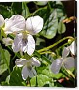 Close-up Of White Violets  Canvas Print
