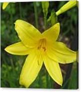 Close Up Of Yellow Mini Dayliliy Canvas Print