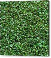 Close-up Privet Hedge Canvas Print
