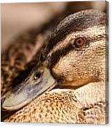 Close Up Shot Of Female Mallard Duck Canvas Print