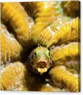 Close-up Spinyhead Blenny Canvas Print