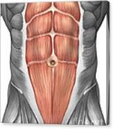 Close-up View Of Male Abdominal Muscles Canvas Print