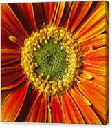 Close Up Yellow Orange Mum Canvas Print
