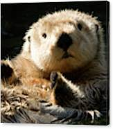 Closeup Of A Captive Sea Otter Making Canvas Print