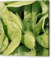 Closeup Of Boston Lettuce Canvas Print