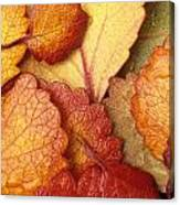 Closeup Of Dwarf Birch Leaves Autumn Ar Canvas Print