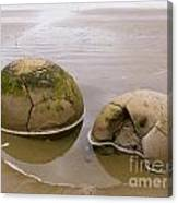 Closeup Of Famous Spherical Moeraki Boulders In Nz Canvas Print