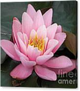 Closeup Of Pink Waterlily In A Pond Canvas Print