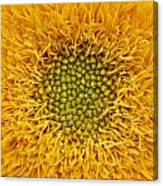 Closeup Of Sunflower Canvas Print
