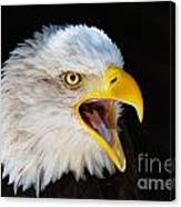 Closeup Portrait Of A Screaming American Bald Eagle Canvas Print