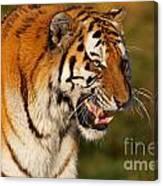 Closeup Portrait Of A Siberian Tiger  Canvas Print
