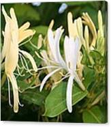 Closeup Shot Of Lonicera European Honeysuckle Flower Canvas Print