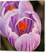 Closeup Striped Purple Crocus Vernus Canvas Print