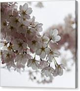 Clouds Of Soft Pink Blossoms - A Tribute To Spring Canvas Print
