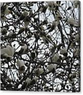 Cloudy Day For Young Magnolias Canvas Print